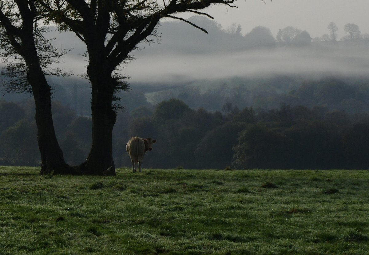 misty cow in brittany